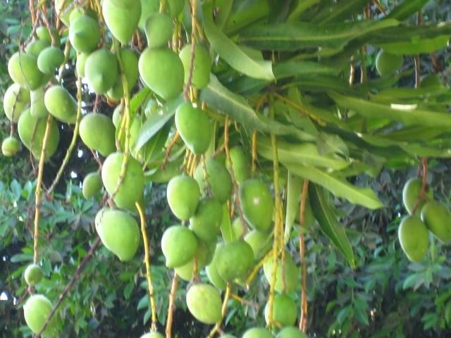 Green Mangos Nuevo Vallarta Mexico