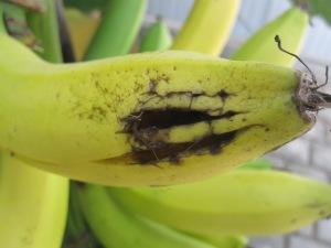 Who's been eating my banana!